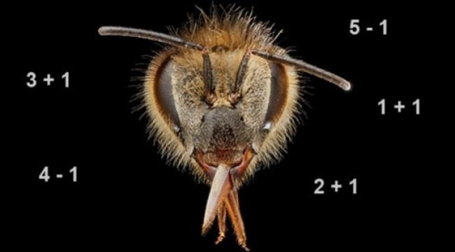 Arılar da hesap yapabiliyor