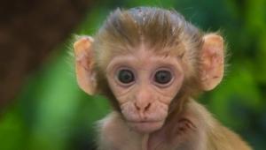 İnsan Beyni Genlerine Sahip Maymunlar Üretildi