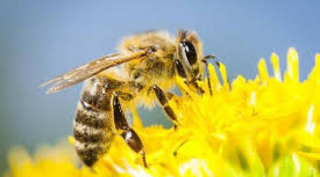 Dünyanın geleceği arılara bağlı