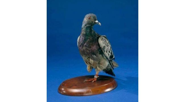 Birinci Dünya Savaşı'nda 194 Kişinin Hayatını Kurtaran Kahraman Güvercin: Cher Ami..