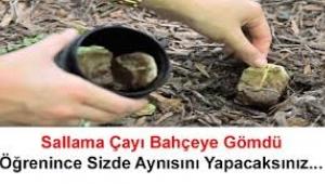 Sallama çayı bahçeye gömün, mucizeye tanık olun!