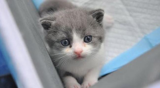 Çin'in ilk klonlanmış kedisi Garlic doğdu