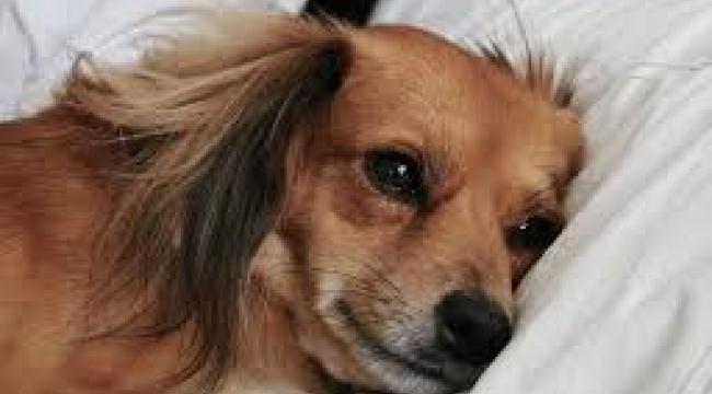 Hollanda'da hayvanseverlere uyarı: Köpeklerin yeri yatak değil