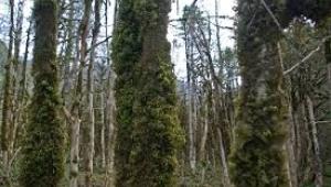 Ormanlar hasta olabilir
