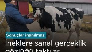 Rusya'da ineklere sanal gerçeklik gözlüğü takıldı
