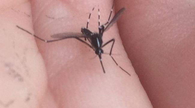 İstanbul'da 'Asya Kaplan Sivrisineği' paniği!
