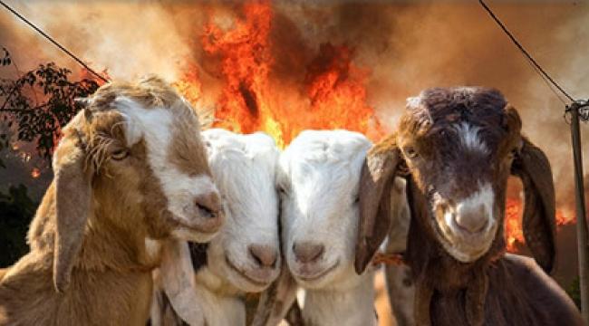 Keçilerin yangın önlemedeki rolünü bilir misiniz