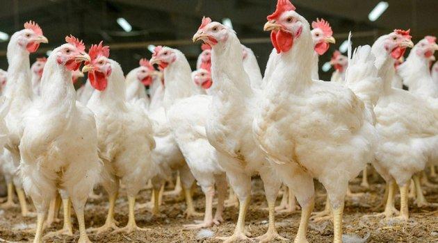 Yapay et üretildi: Yediğiniz tavuklar yapay mı?