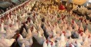 Beyaz ette büyük kriz! 20 günlük tavuk kaldı