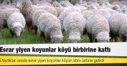 Otladıkları sırada esrar yiyen koyunlar dağıttı