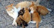 Kediler neden mart ayında daha fazla çiftleşme isteği duyar?