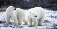 Merak Edilen Sorulara Verilen En İyi 10 Bilimsel Cevap! Kutup Ayıları Normalde Siyah mı?