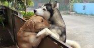 Sabahları Ailesi İşteyken Yalnız Kalıp Ağlayan Köpeğe Destek Olan Komşu Köpeği